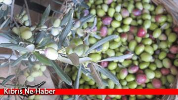 Gazimağusa'da Zeytin Toplama Tarihi Belirlendi!