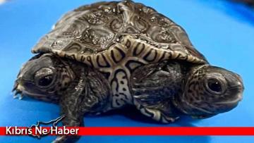 ABD'de 2 başlı 6 ayaklı kaplumbağa: Bacakları farklı beyinler tarafından yönetiliyor
